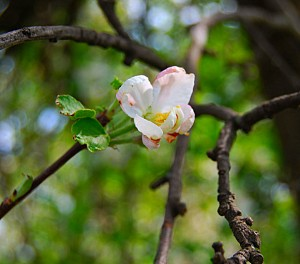 One of many apple blossoms on the tree right behind my house.