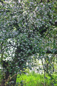 An old apple tree in bloom