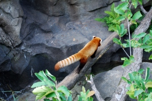 A red panda at the National Zoo
