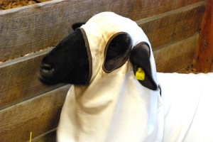 I am nija sheep. You do not see me! I am here to take back the wool!