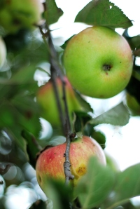 The apples are almost ready for harvest on this heirloom tree