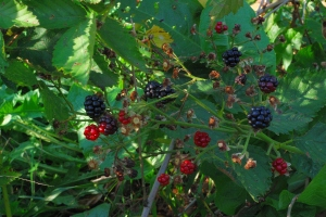 Found a last patch of blackberries
