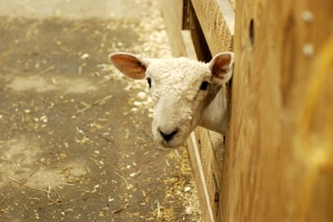 One of the sheep who talked to me in the sheep barn