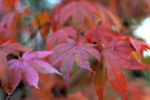 The Japanese maples are showing their fall color