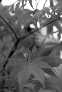 Fall leaves in black & white
