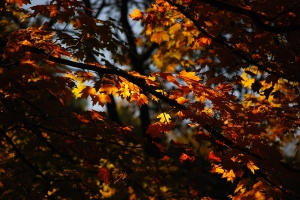 Play of light and dark on autumn leaves