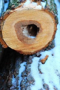 A freshly cut log dusted with snow