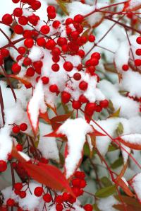 The snow acts likes fairy dust on red holly