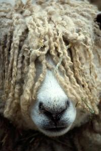 aka Dredlock Sheep