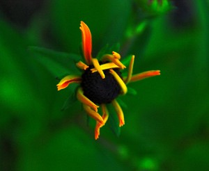 hopefully a black eyed susan
