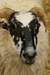 A Scottish Blackfaced sheep at MDS&W